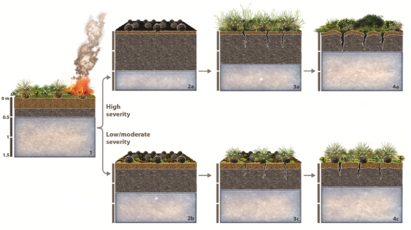 Graphic of how wildfires change the soil of the Alaskan Tundra