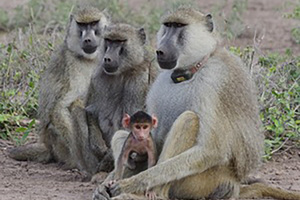 A tough childhood can lead to a shorter life for baboons